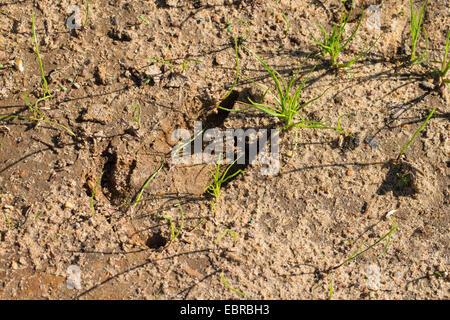 wild boar, pig, wild boar (Sus scrofa), track in mud, Germany - Stock Photo