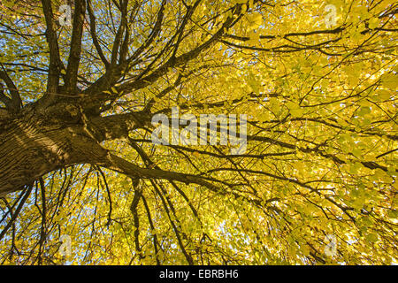 large-leaved lime, lime tree (Tilia platyphyllos), with golden autumn leaves, Germany, Bavaria - Stock Photo