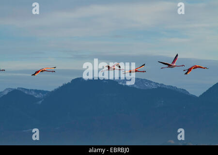 Greater flamingo, American flamingo, Caribbean Flamingo (Phoenicopterus ruber ruber), winter guest, flying in front - Stock Photo