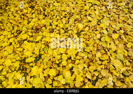 large-leaved lime, lime tree (Tilia platyphyllos), golden autumn leaves on the ground, Germany, Bavaria - Stock Photo