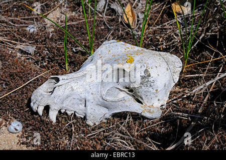 domestic dog (Canis lupus f. familiaris), skull of a dog covered with lichens, Bulgaria - Stock Photo