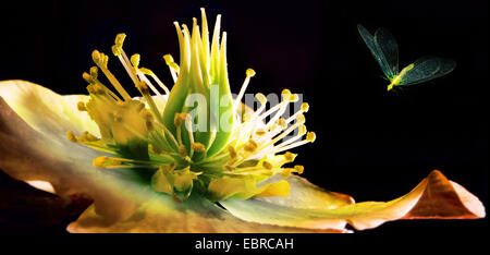 black hellebore (Helleborus niger), insect approaching flower, Germany - Stock Photo