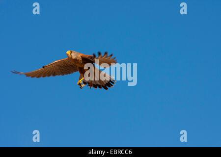 European Kestrel, Eurasian Kestrel, Old World Kestrel, Common Kestrel (Falco tinnunculus), in flight with prey, - Stock Photo
