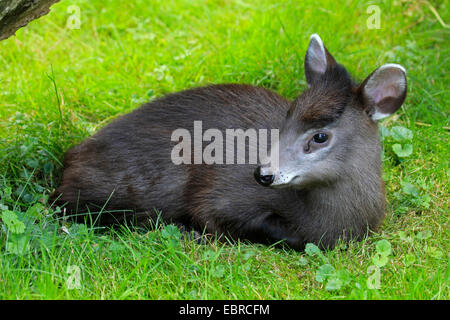 Tufted deer (Elaphodus cephalophus), young animal lying in a meadow - Stock Photo