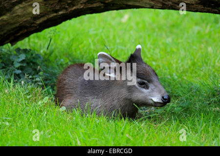 Tufted deer (Elaphodus cephalophus), young animal lying in a meadow in a hollow under a branch - Stock Photo