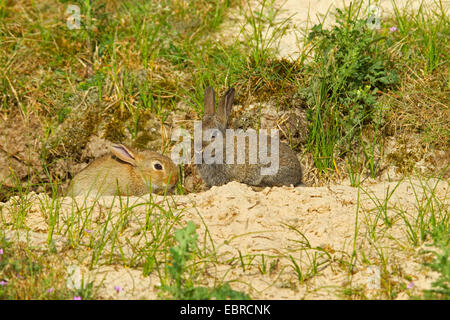 European rabbit (Oryctolagus cuniculus), two rabbits in front of their burrow, Netherlands, Texel - Stock Photo