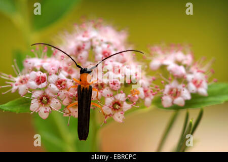 Cane borer (Oberea pupillata), sitting on pink flowers, Russia - Stock Photo
