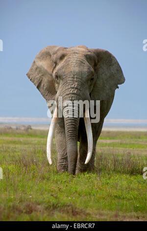 African elephant (Loxodonta africana), bull elephant with very big tusks, Tanzania, Serengeti National Park - Stock Photo