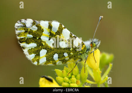 Eastern Dappled White (Euchloe ausonia crameri), sitting on yellow flowers, Italy, Sicilia - Stock Photo