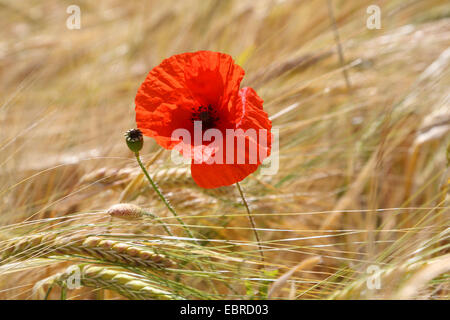 Common poppy, Corn poppy, Red poppy (Papaver rhoeas), poppy flower in a cornfield, Germany - Stock Photo