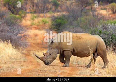 white rhinoceros, square-lipped rhinoceros, grass rhinoceros (Ceratotherium simum), crossing an unpaved road, South - Stock Photo