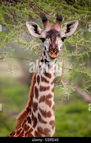 Masai giraffe (Giraffa camelopardalis tippelskirchi), portrait, Tanzania, Serengeti National Park - Stock Photo