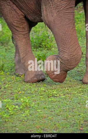 African elephant (Loxodonta africana), feet of an elephant, Tanzania, Serengeti National Park - Stock Photo
