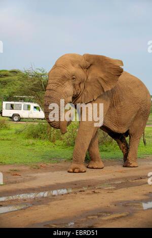 African elephant (Loxodonta africana), bull elephant without tusks in the Serengeti, Tanzania, Serengeti National - Stock Photo