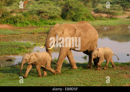 African elephant (Loxodonta africana), cow elephant with two calves at the waterhole, Tanzania, Serengeti National - Stock Photo