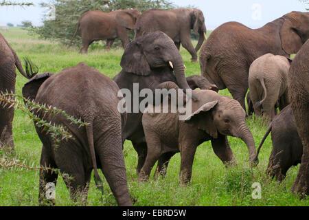 African elephant (Loxodonta africana), romping infants in a herd of elephants, Tanzania, Serengeti National Park - Stock Photo