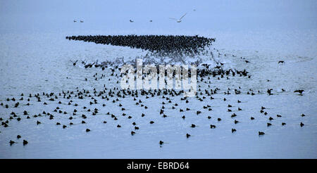 black coot (Fulica atra), flock on a lake, flying up, Germany - Stock Photo