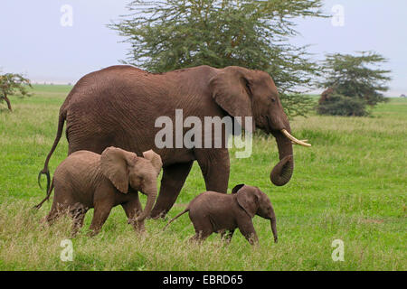 African elephant (Loxodonta africana), cow elephant with two calves , Tanzania, Serengeti National Park - Stock Photo