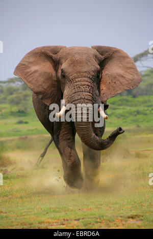 African elephant (Loxodonta africana), bull elephant attacking, Tanzania, Serengeti National Park - Stock Photo