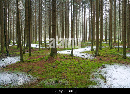 spruce (Picea spec.), view in a spruce forest with mossy forest ground and a little bit fresh snow, Germany, Bavaria, - Stock Photo