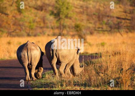 white rhinoceros, square-lipped rhinoceros, grass rhinoceros (Ceratotherium simum), grazing at the roadside, back - Stock Photo