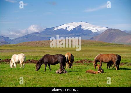 Islandic horse, Icelandic horse, Iceland pony (Equus przewalskii f. caballus), grazing, Iceland, Snaefellnes - Stock Photo
