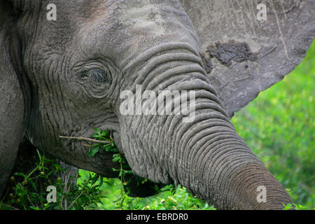 African elephant (Loxodonta africana), portrait, feeding, Tanzania, Serengeti National Park - Stock Photo