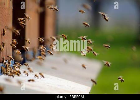 honey bee, hive bee (Apis mellifera mellifera), honey bees flying to the entrance of the apiary, Germany, Baden - Stock Photo