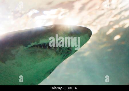 Sand shark, Sand tiger shark, Sandtiger shark, Gray nurse shark (Eugomphodus taurus, Carcharias taurus, Carcharias - Stock Photo