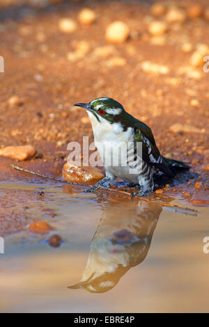 Didric cuckoo (Chrysococcyx caprius), sitting at a waterhole, South Africa, North West Province, Pilanesberg National - Stock Photo