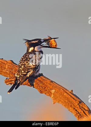 lesser pied kingfisher (Ceryle rudis), sitting on a branch with a fish in the bill, South Africa, North West Province, - Stock Photo