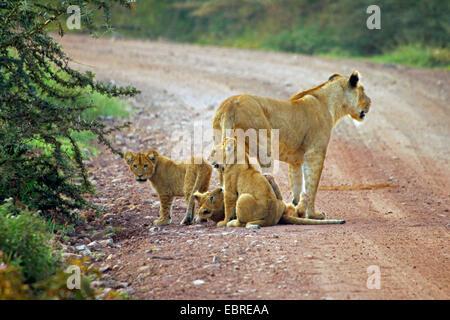 lion (Panthera leo), lioness with three infants on a street, Tanzania, Serengeti National Park - Stock Photo