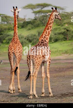 Masai giraffe (Giraffa camelopardalis tippelskirchi), rear view of two giraffes, Tanzania, Serengeti National Park - Stock Photo