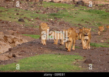 lion (Panthera leo), lion family in Ngorongoro Crater, Tanzania - Stock Photo