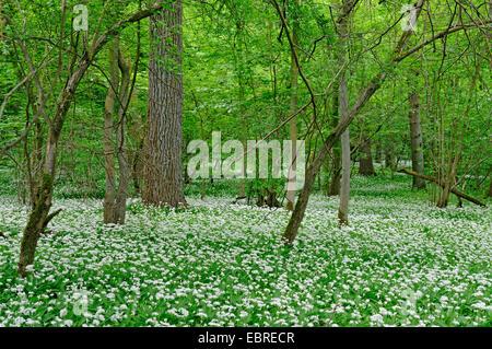 ramsons, buckrams, wild garlic, broad-leaved garlic, wood garlic, bear leek, bear's garlic  (Allium ursinum), dense - Stock Photo