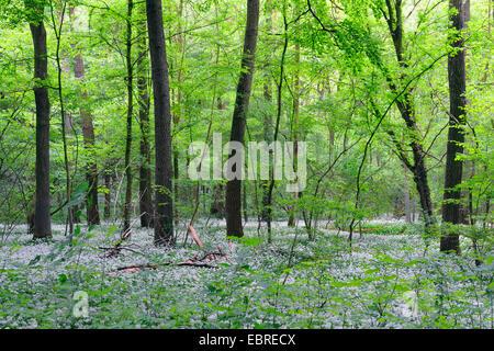ramsons, buckrams, wild garlic, broad-leaved garlic, wood garlic, bear leek, bear's garlic  (Allium ursinum), spring - Stock Photo