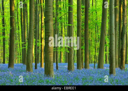 Atlantic bluebell (Hyacinthoides non-scripta, Endymion non-scriptus, Scilla non-scripta), Beech Forest with Bluebells - Stock Photo