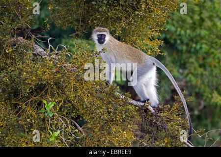 Vervet, Vervet monkey (Chlorocebus pygerythrus), on a branch in a tree, Kenya, Masai Mara National Park - Stock Photo