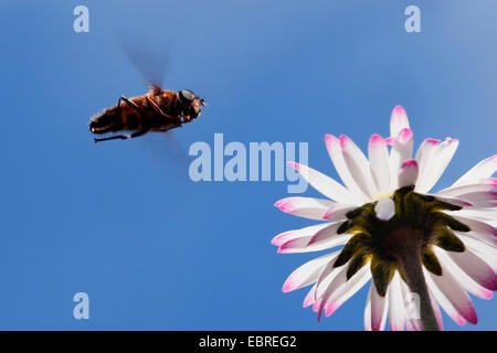 hoverflies, hover flies, syrphid flies, flower flies (Syrphidae), approaching a daisy, Germany - Stock Photo