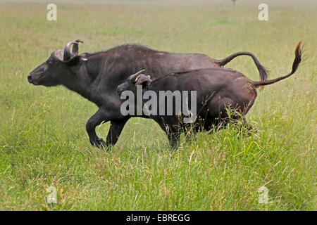 African buffalo (Syncerus caffer), female and calf running in savannah, Kenya, Masai Mara National Park - Stock Photo