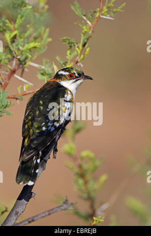 Didric cuckoo (Chrysococcyx caprius), sitting in a thornbush, South Africa, North West Province, Pilanesberg National - Stock Photo