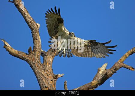 Osprey pandion haliaetus adult landing on nest sanibel for Fish hawk fl