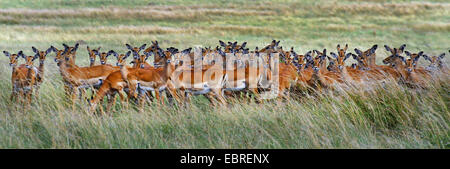 impala (Aepyceros melampus), herd in high grass, Kenya, Masai Mara National Park - Stock Photo