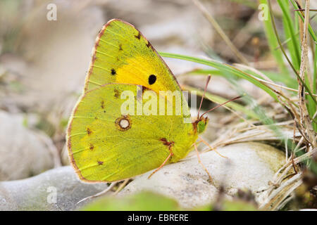 clouded yellow (Colias croceus, Colias crocea), male sitting on the ground, Europe - Stock Photo