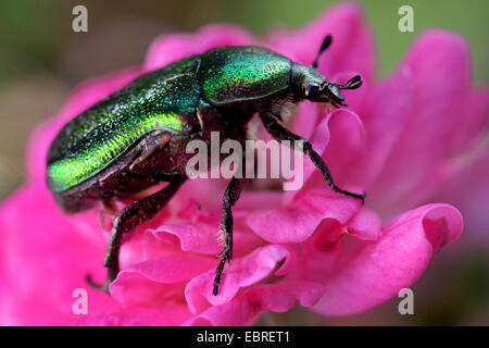 rose chafer (Cetonia aurata), sittin on a pink flower - Stock Photo