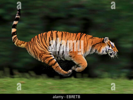 tiger (Panthera tigris), lateral running, action - Stock Photo