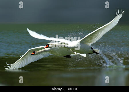 mute swan (Cygnus olor), twin start from the water, Germany - Stock Photo