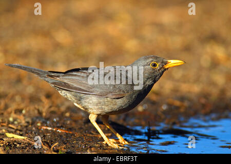 Olive thrush (Turdus olivaceus), standing at a drinking place, South Africa, North West Province, Barberspan Bird - Stock Photo