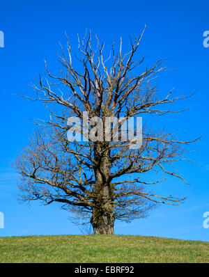 oak (Quercus spec.), partly dead old oak on a knoll, Germany, Bavaria, Oberbayern, Upper Bavaria - Stock Photo