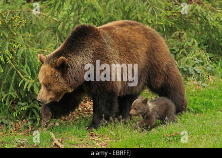 European brown bear (Ursus arctos arctos), bearess walking with bear cub at the forest edge, Germany, Bavaria, Bavarian - Stock Photo